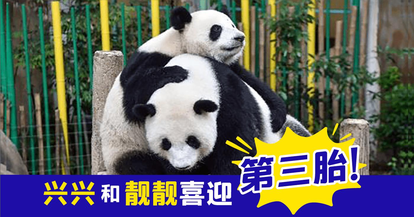 XplodeLIAO_大马大熊猫保育中心喜迎新成员_宝宝性别名字占不确定